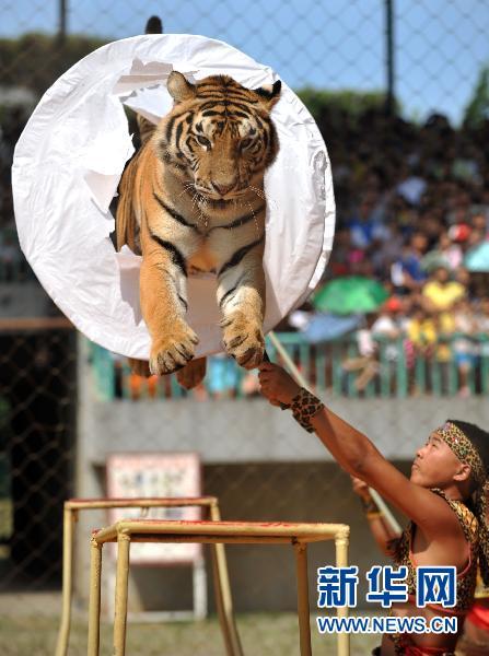 """10月3日,在广西南宁市南宁动物园,一头老虎在表演""""跳涧""""."""
