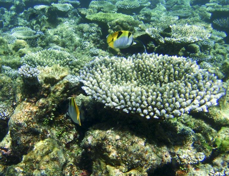 高清:马尔代夫美丽的海底珊瑚