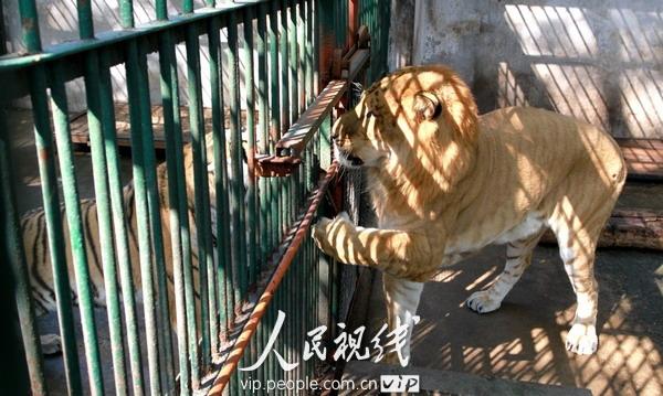 江西九江,甘棠公园动物园狮虎兽正在笼子里
