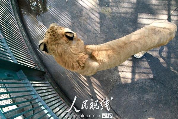 10月27日,江西九江,甘棠公园动物园狮虎兽正在笼子里玩耍.