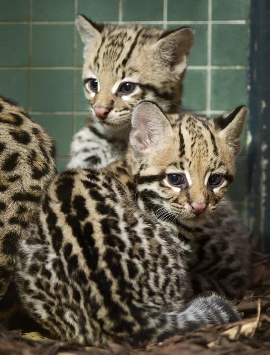 德国柏林的动物园里的豹猫母子